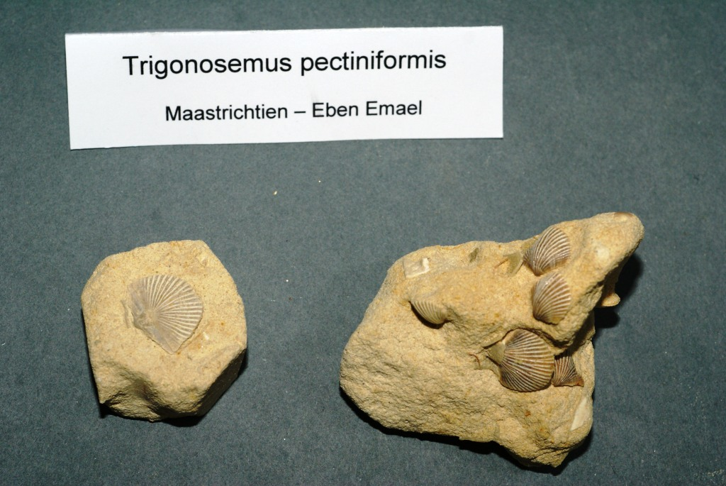 Brachiopode du Maastrichtien